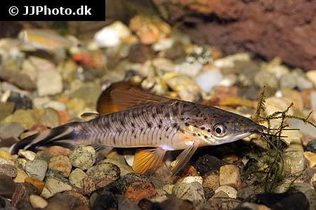 Halestribet pansermalle dianema urostriatum artsbeskrivelse for Freshwater fishing in massachusetts