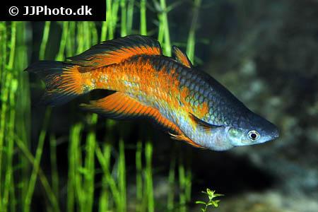 Parkinsons regnbuefisk melanotaenia parkinsoni artsbeskrivelse