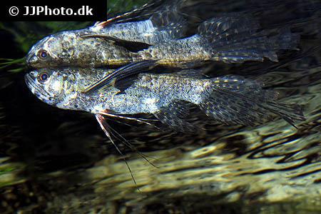 Sommerfuglefisk pantodon buchholzi artsbeskrivelse for Butterfly fish freshwater