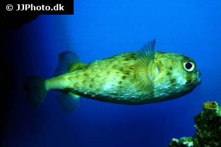 billede af pindsvinefisk